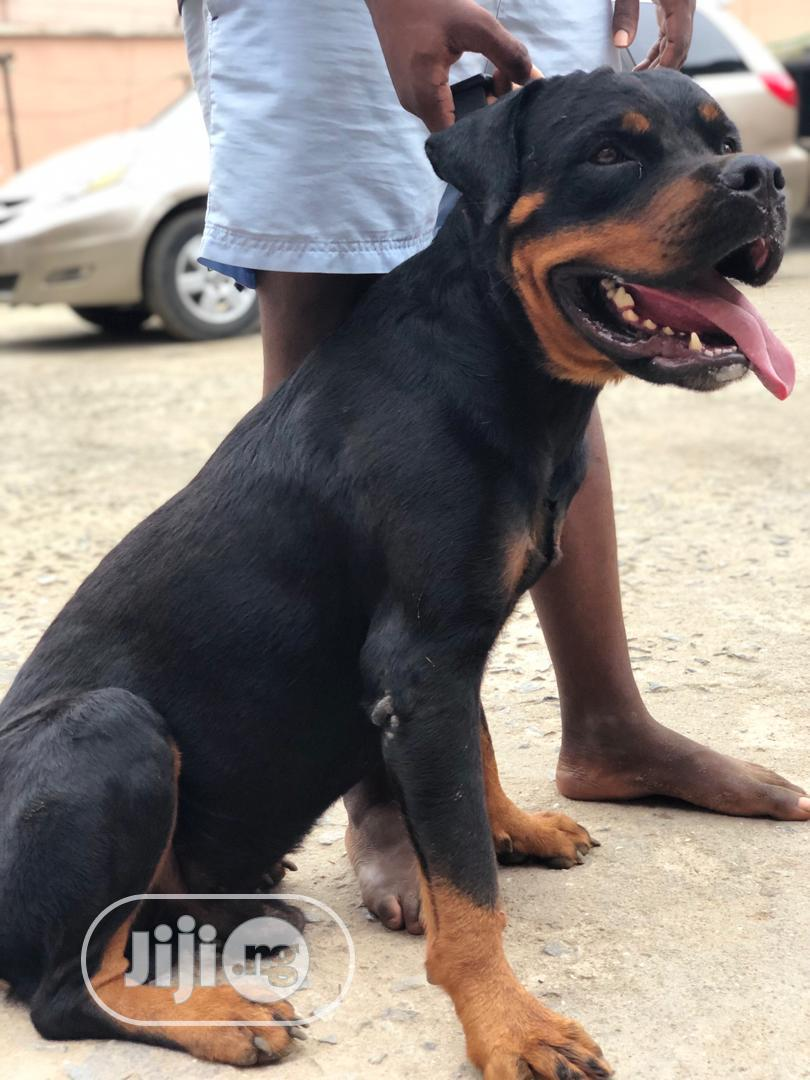 3-6 Month Male Purebred Rottweiler