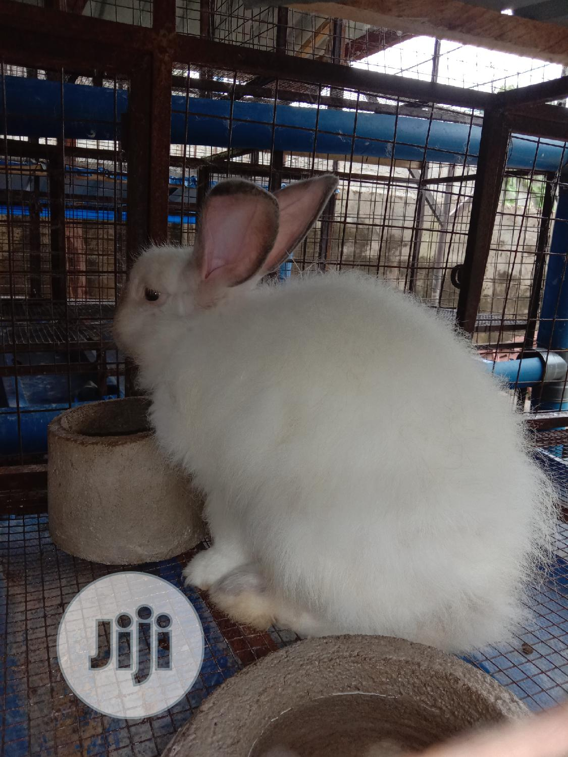 Archive: Hybrid Rabbits, Grasscutter And Ostrich Chicks For Sell