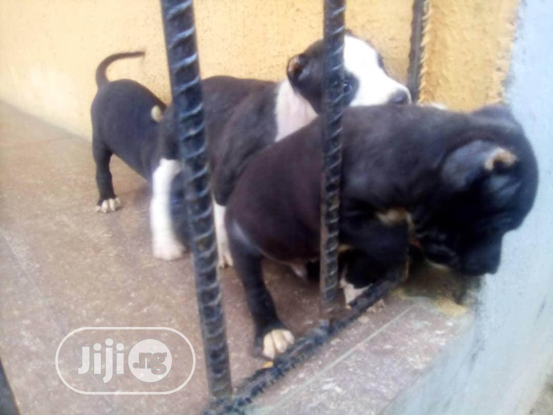 1-3 month Male Purebred American Pit Bull Terrier | Dogs & Puppies for sale in Uvwie, Delta State, Nigeria