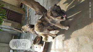 1+ year Male Purebred Caucasian Shepherd | Dogs & Puppies for sale in Lagos State, Alimosho