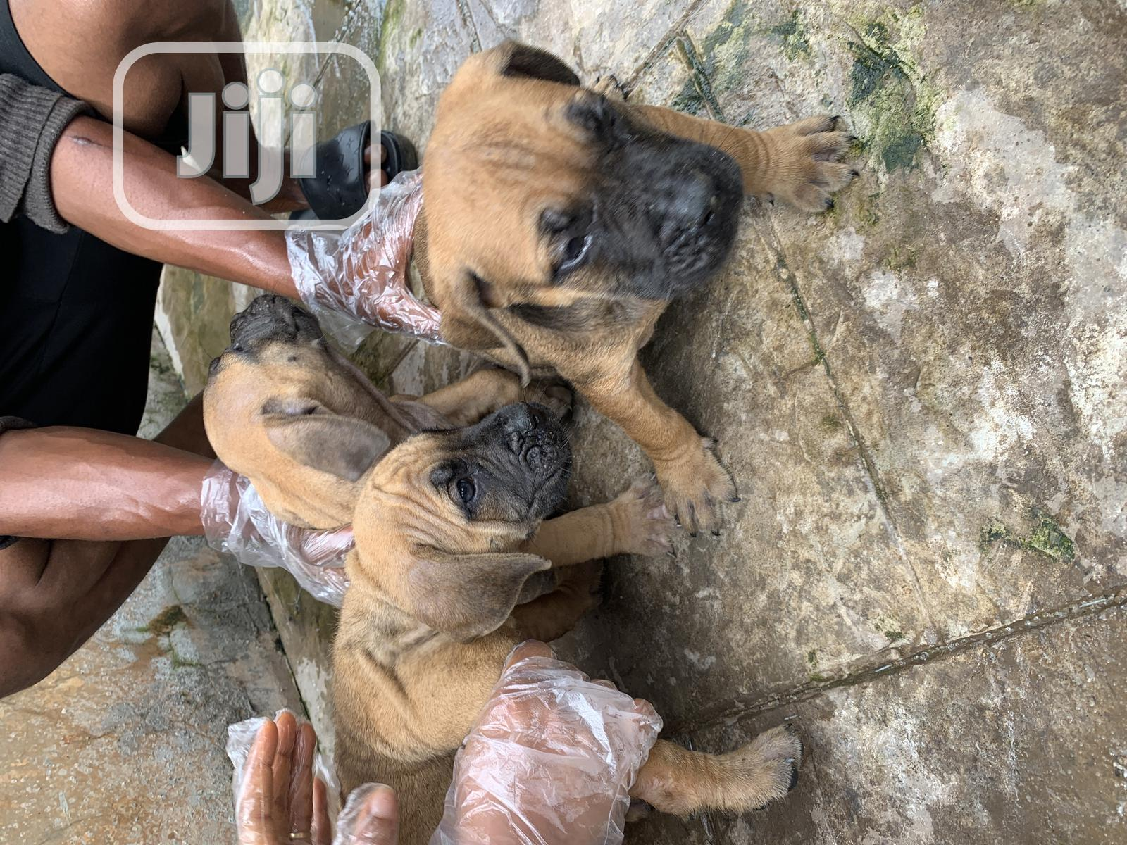 1-3 month Male Purebred Boerboel   Dogs & Puppies for sale in Ojota, Lagos State, Nigeria