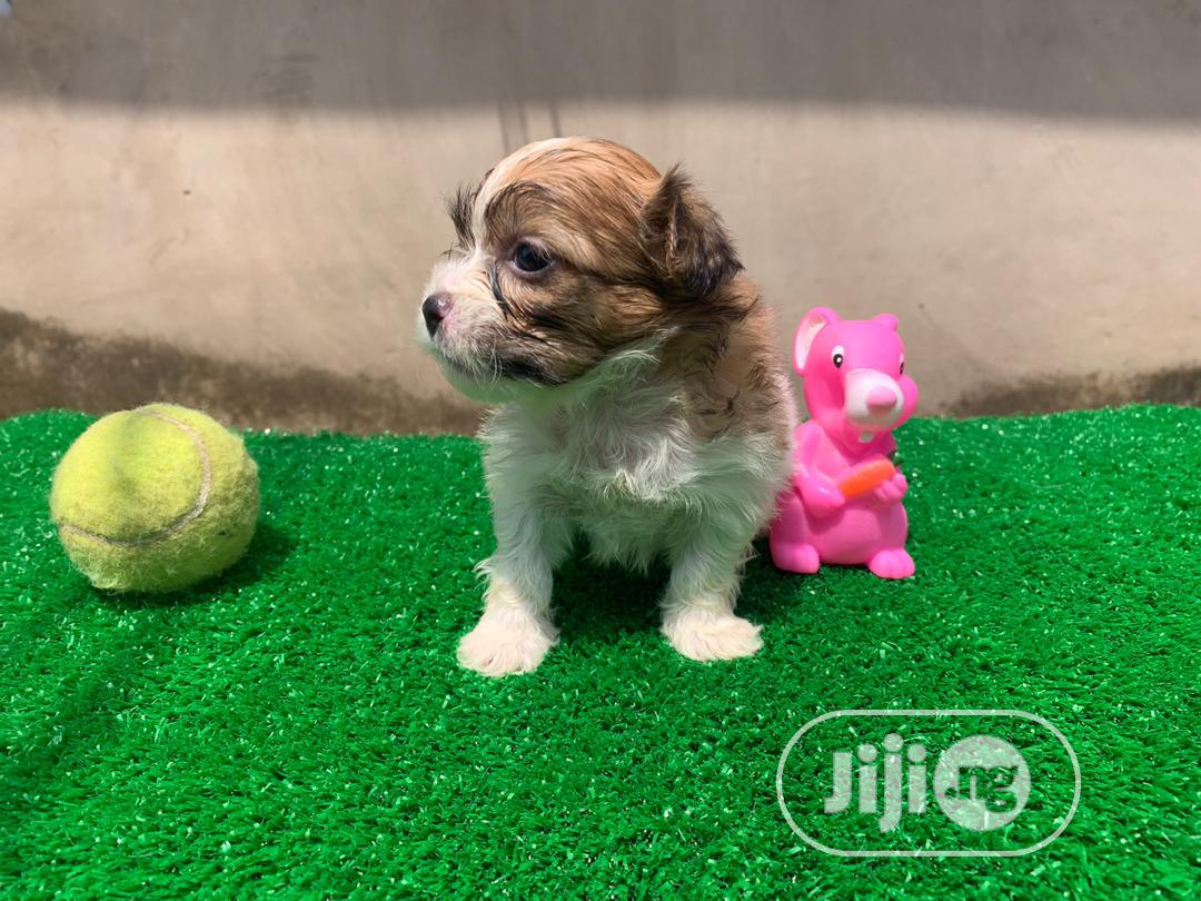 1-3 Month Male Purebred Lhasa Apso | Dogs & Puppies for sale in Alimosho, Lagos State, Nigeria