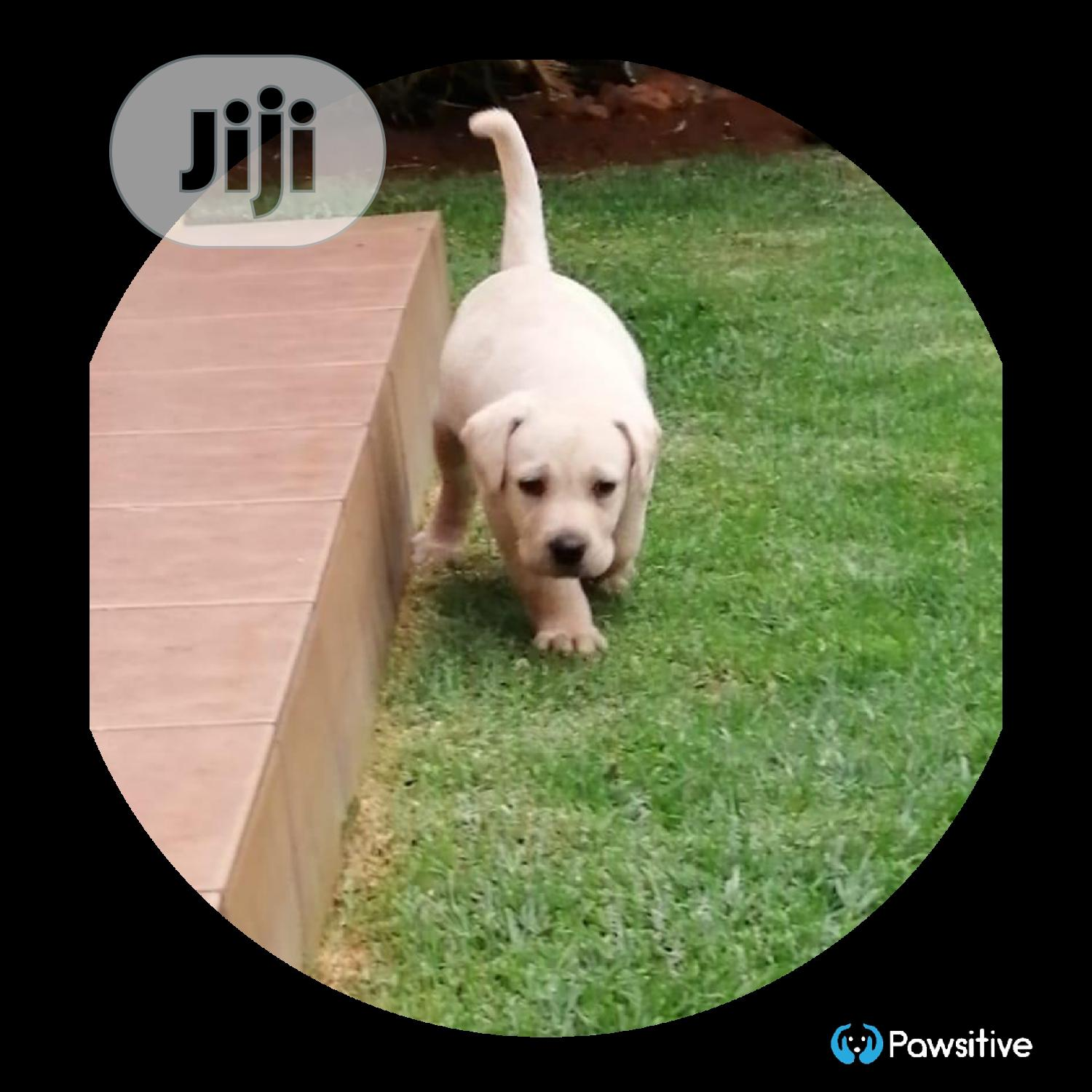 1-3 month Female Purebred Labrador Retriever | Dogs & Puppies for sale in Maryland, Lagos State, Nigeria