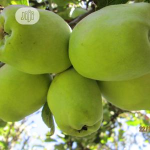 Wambugu Apple Seedlings For Sale | Feeds, Supplements & Seeds for sale in Lagos State, Ikeja