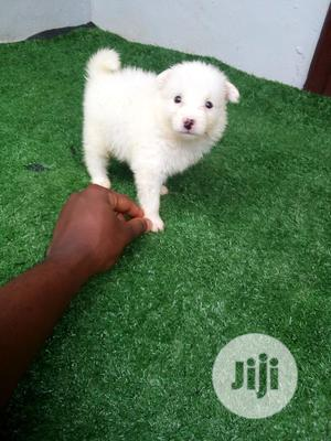 0-1 month Female Purebred American Eskimo | Dogs & Puppies for sale in Lagos State, Ikotun/Igando