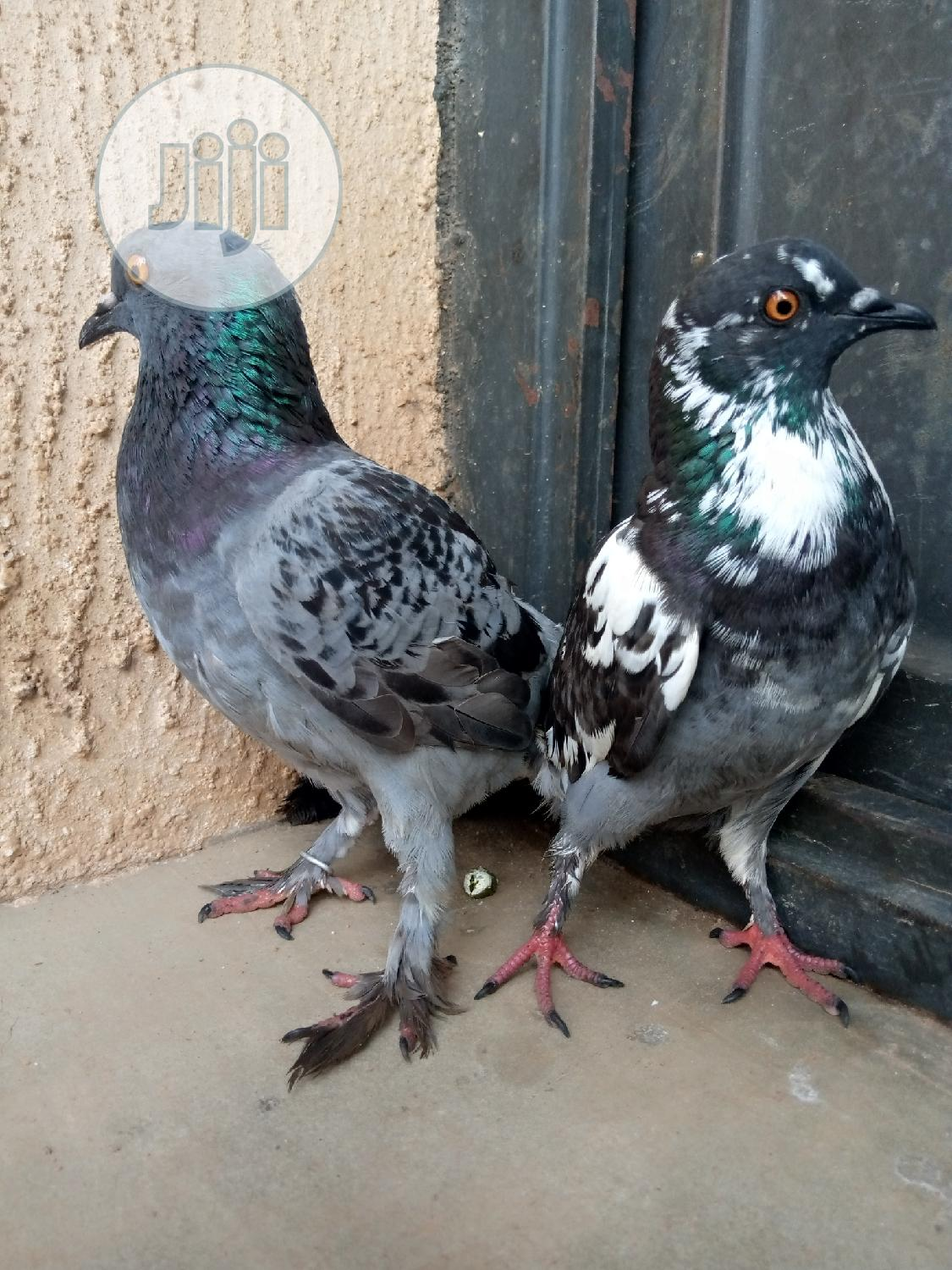 Healthy Pigeon Are Also Available At JAHLAND ANIMAL FARM | Birds for sale in Nyanya, Abuja (FCT) State, Nigeria