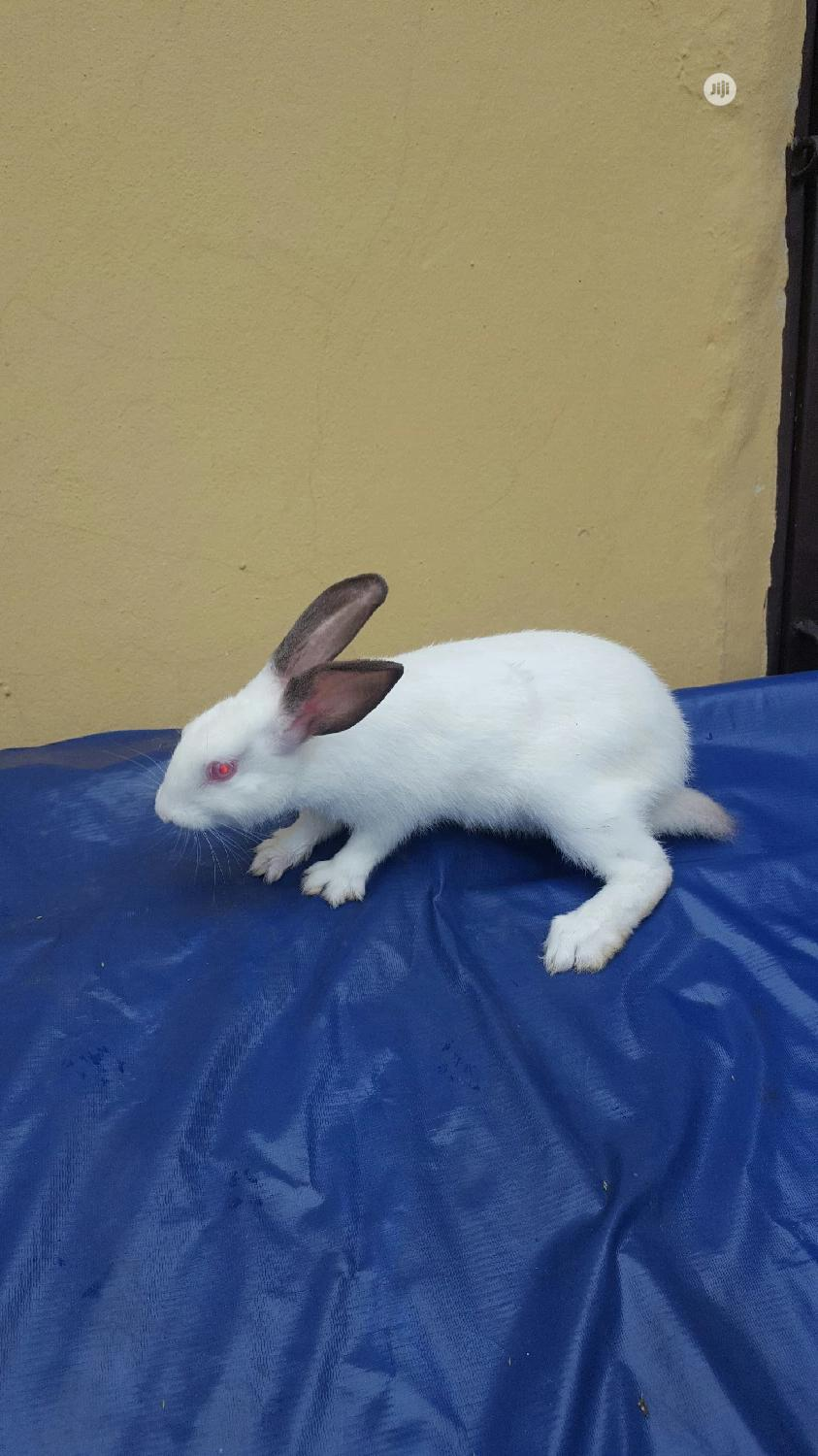 Rabbit For Sell | Livestock & Poultry for sale in Obio-Akpor, Rivers State, Nigeria