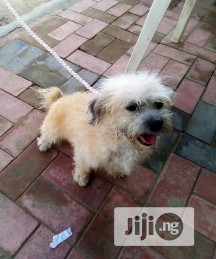 Archive: 6-12 Month Male Purebred Lhasa Apso