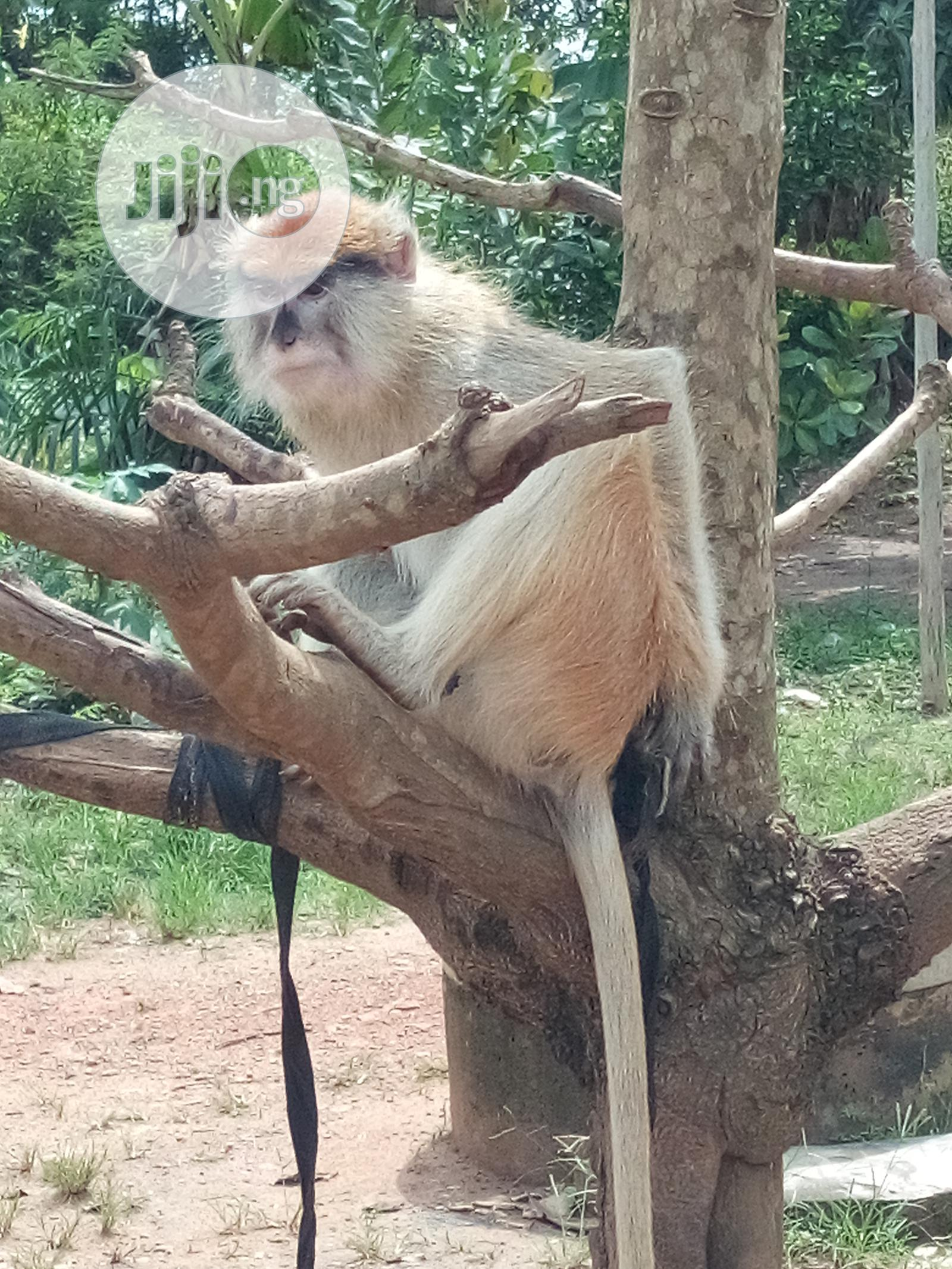 Archive: Healthy Monkey For Sale