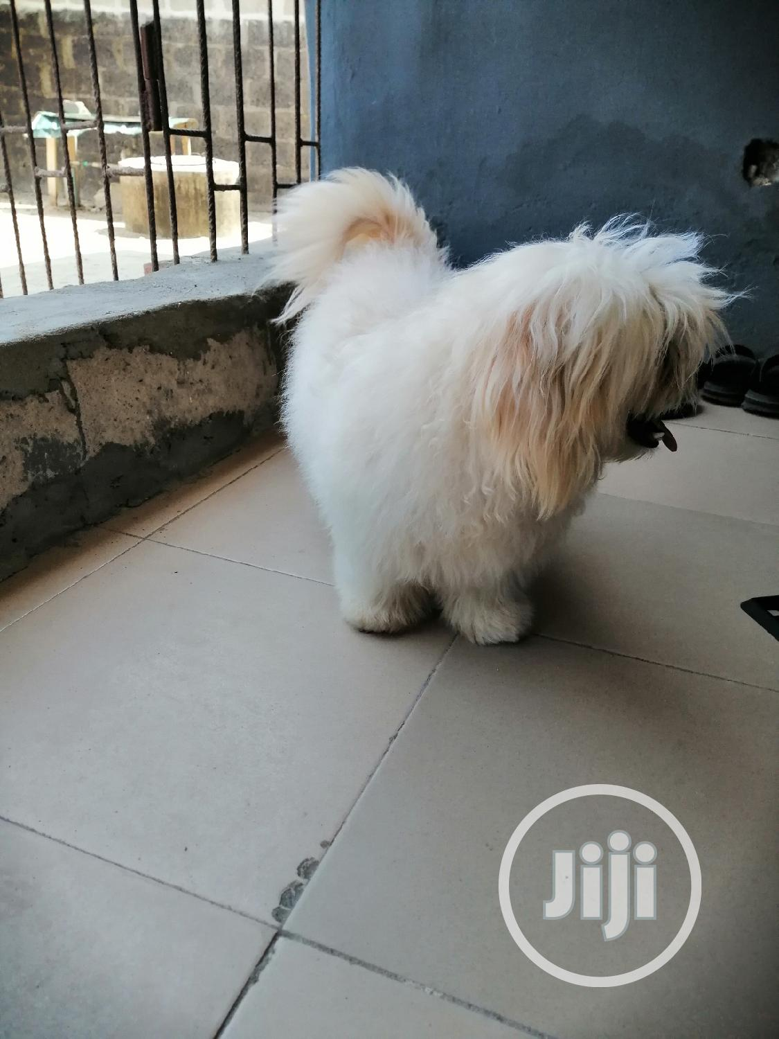 Archive: Male Lhasa Apso For Stud
