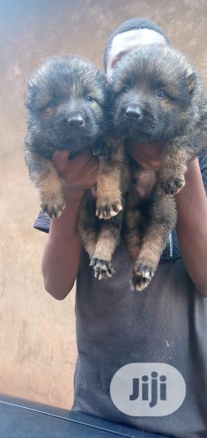 1-3 Month Male Purebred Caucasian Shepherd   Dogs & Puppies for sale in Enugu State, Enugu