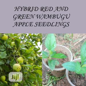 Hybrid Red And Green Wambugu Apple Seedlings F1 | Feeds, Supplements & Seeds for sale in Lagos State, Ojodu