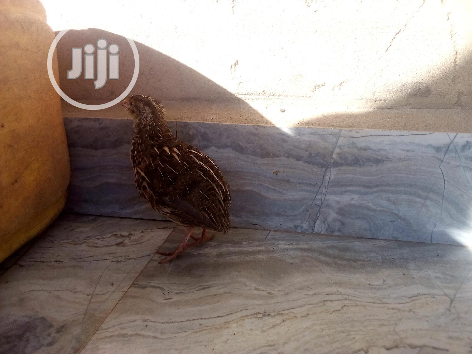 Healthy Quails Are Available With Quail Eggs In JAHLAND FARM | Livestock & Poultry for sale in Nyanya, Abuja (FCT) State, Nigeria
