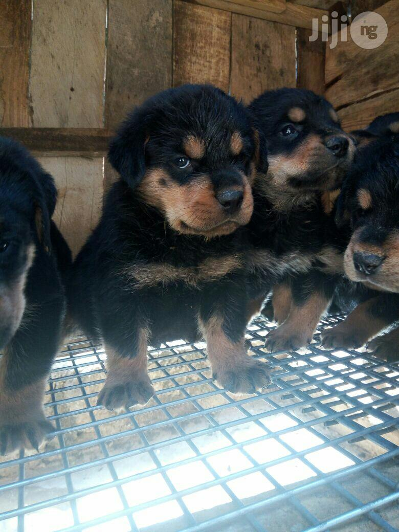 Baby Male Purebred Rottweiler | Dogs & Puppies for sale in Amuwo-Odofin, Lagos State, Nigeria
