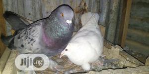 Healthy High Breed Of Pigeons. | Birds for sale in Ogun State, Obafemi-Owode