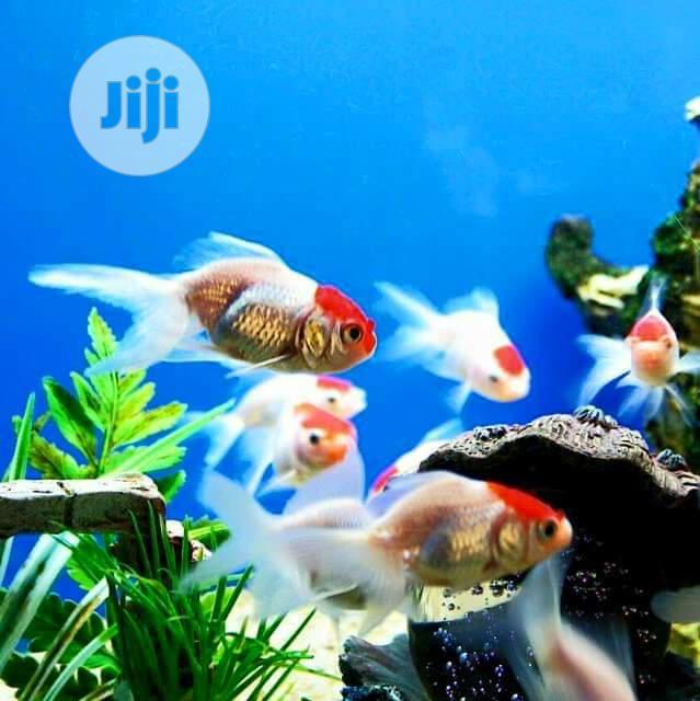 Redcap Fish