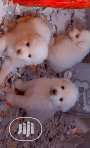1-3 month Female Purebred American Eskimo | Dogs & Puppies for sale in Lagos State, Epe
