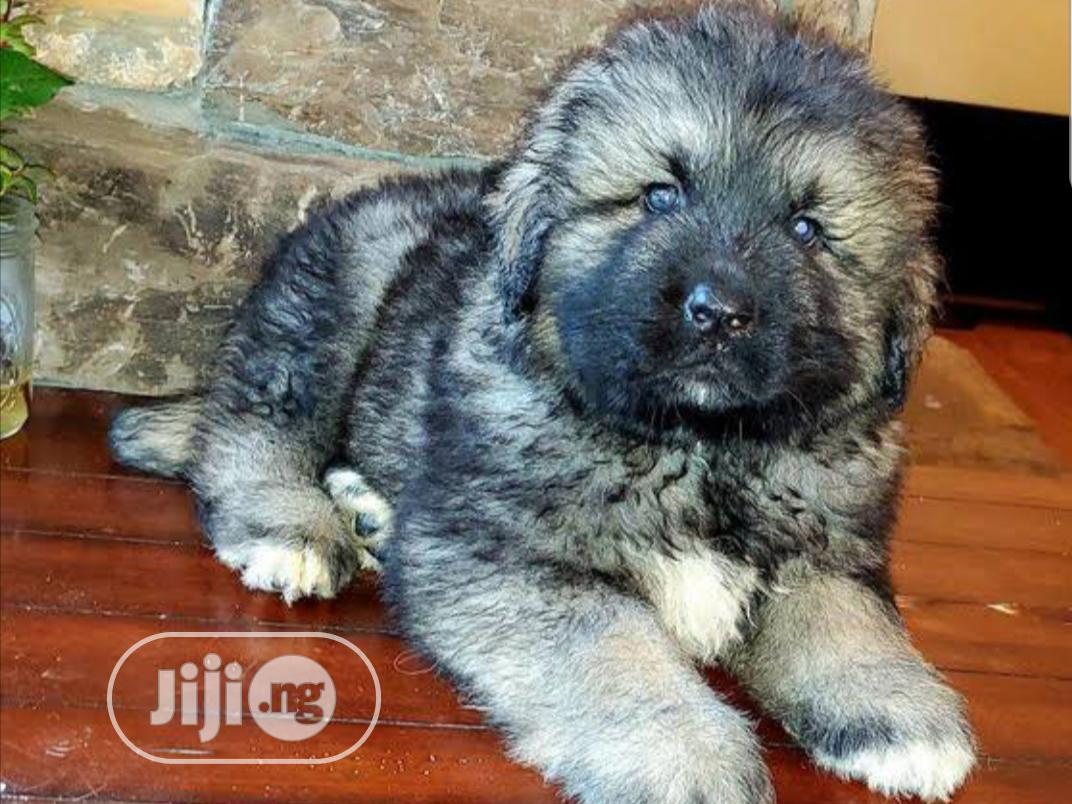 Archive: 1-3 month Male Purebred Caucasian Shepherd