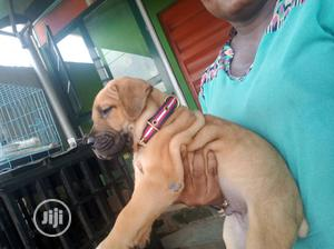 0-1 month Male Purebred Boerboel | Dogs & Puppies for sale in Lagos State, Surulere
