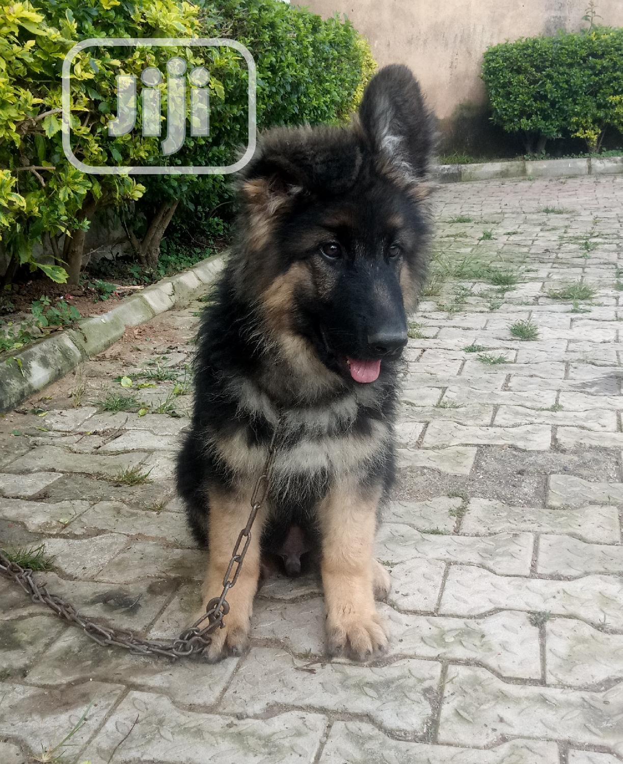 1-3 month Female Purebred German Shepherd | Dogs & Puppies for sale in Jos, Plateau State, Nigeria