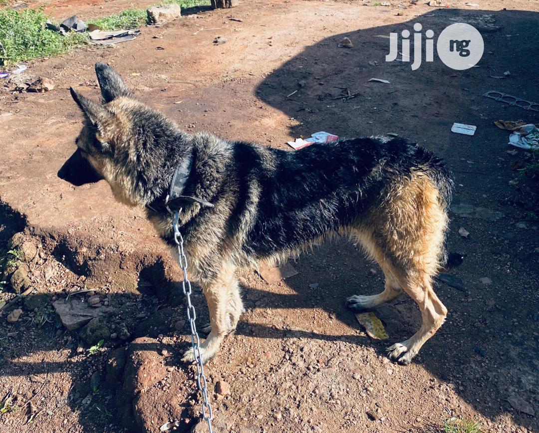 1+ Year Female Purebred German Shepherd