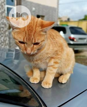 1+ Year Male Mixed Breed Exotic | Cats & Kittens for sale in Lagos State, Lagos Island (Eko)