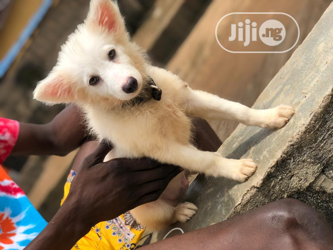 Archive: 3-6 month Male Purebred Samoyed