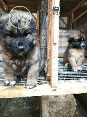 1-3 Month Female Purebred Caucasian Shepherd | Dogs & Puppies for sale in Lagos State, Ikotun/Igando