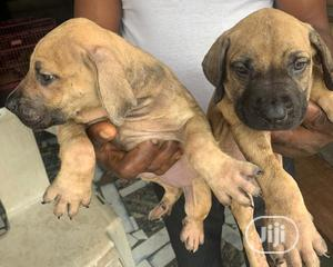1-3 month Female Purebred Boerboel | Dogs & Puppies for sale in Lagos State, Ikorodu