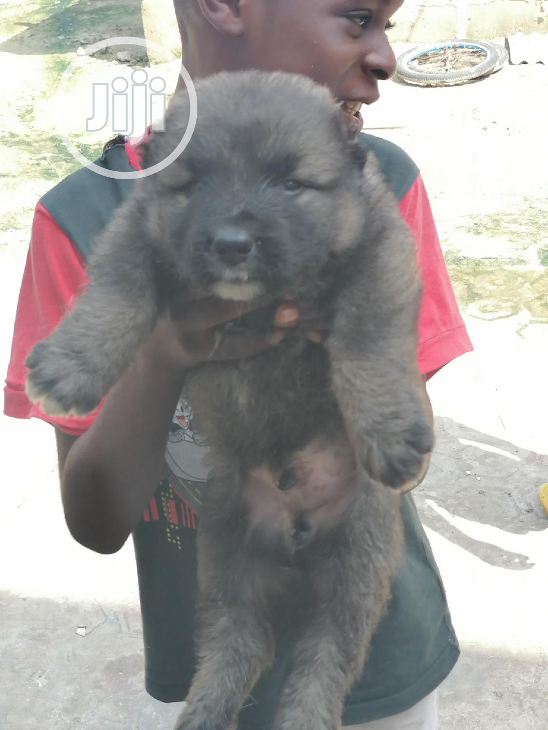 1-3 month Female Purebred Caucasian Shepherd   Dogs & Puppies for sale in Ojo, Lagos State, Nigeria
