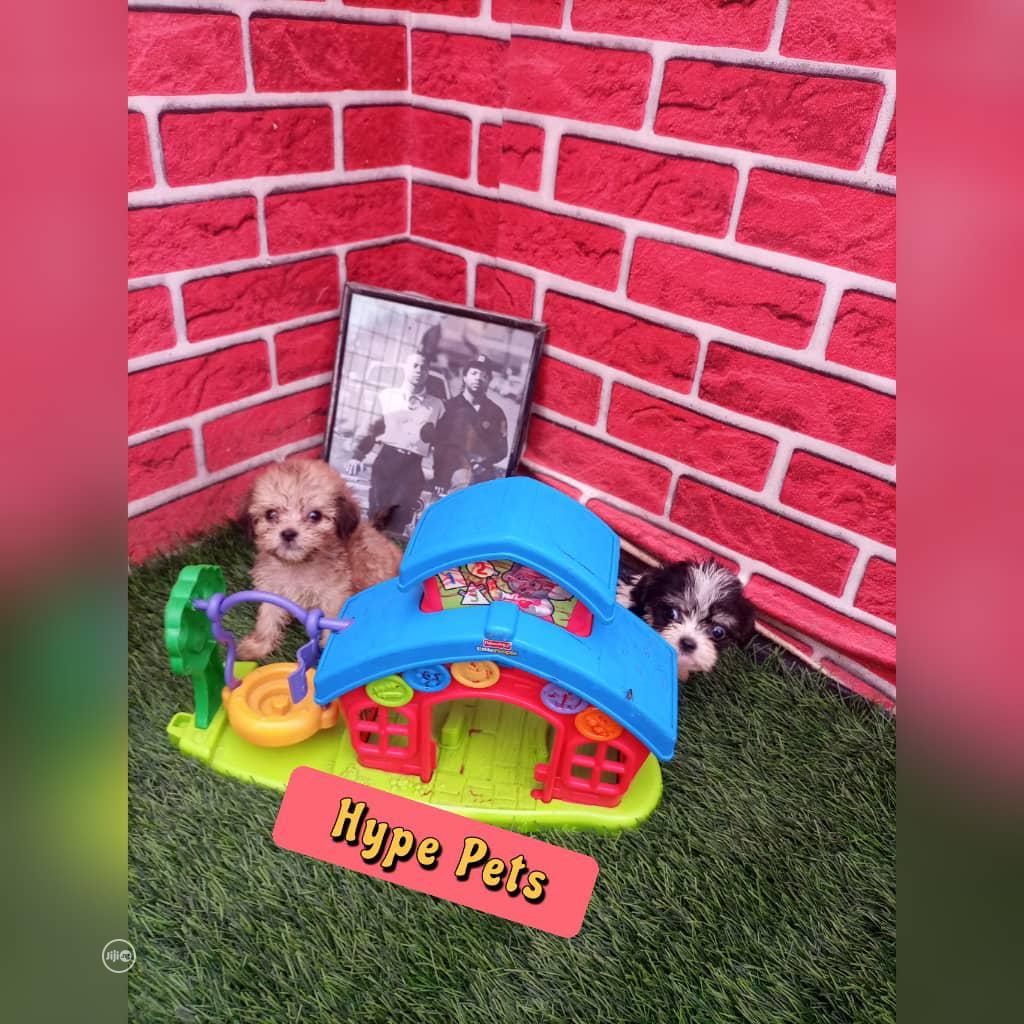 1-3 Month Male Purebred Lhasa Apso | Dogs & Puppies for sale in Ado-Odo/Ota, Ogun State, Nigeria
