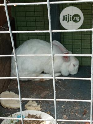Foreign Rabbit Adult   Livestock & Poultry for sale in Lagos State, Isolo