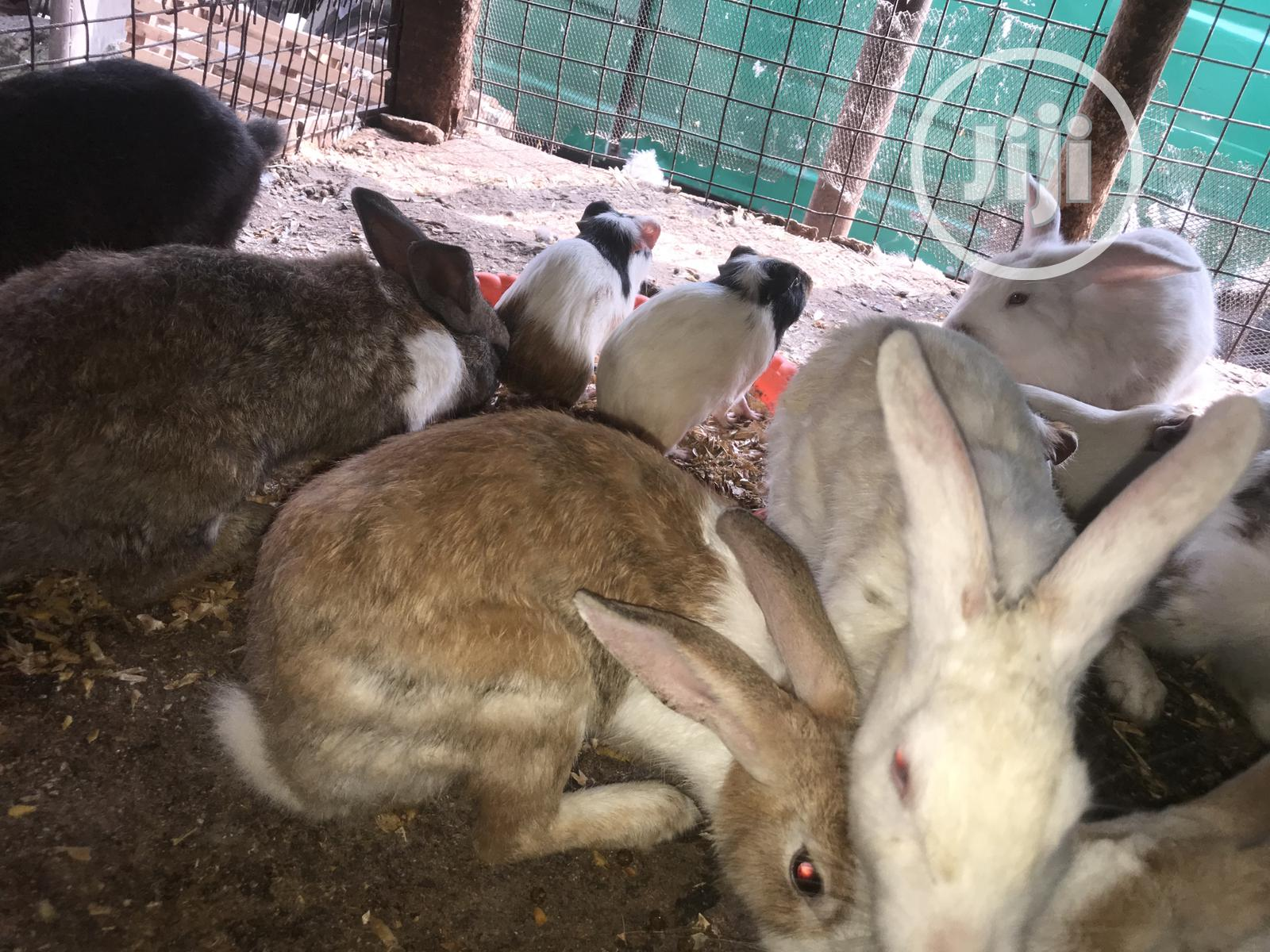 Guinea Pigs For Sale   Livestock & Poultry for sale in Mushin, Lagos State, Nigeria