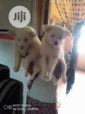 1-3 Month Male Purebred American Eskimo | Dogs & Puppies for sale in Lagos State, Shomolu