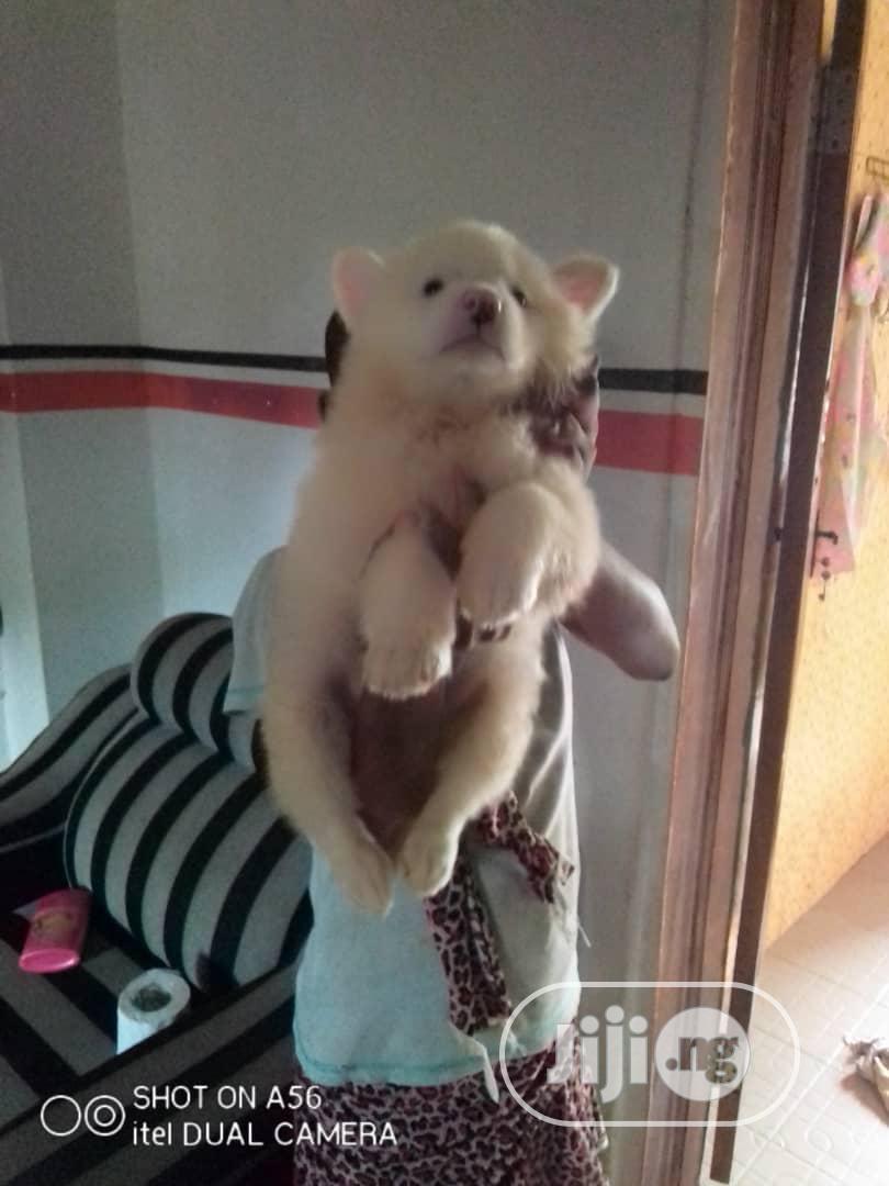 1-3 Month Male Purebred American Eskimo | Dogs & Puppies for sale in Shomolu, Lagos State, Nigeria