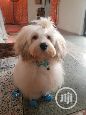 Handsome Male Ihasa Apso Available For Crossbreeding   Pet Services for sale in Lagos State, Amuwo-Odofin