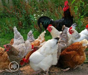 Raifarm Enterprises | Livestock & Poultry for sale in Lagos State, Ikorodu