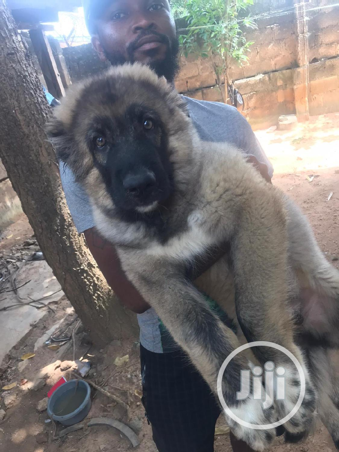 Archive: 3-6 Month Male Purebred Caucasian Shepherd
