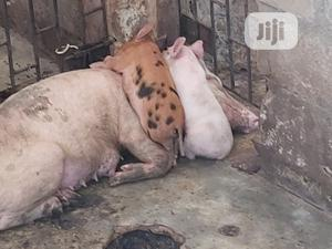 Piglets Weaners Pig | Livestock & Poultry for sale in Lagos State, Ojo