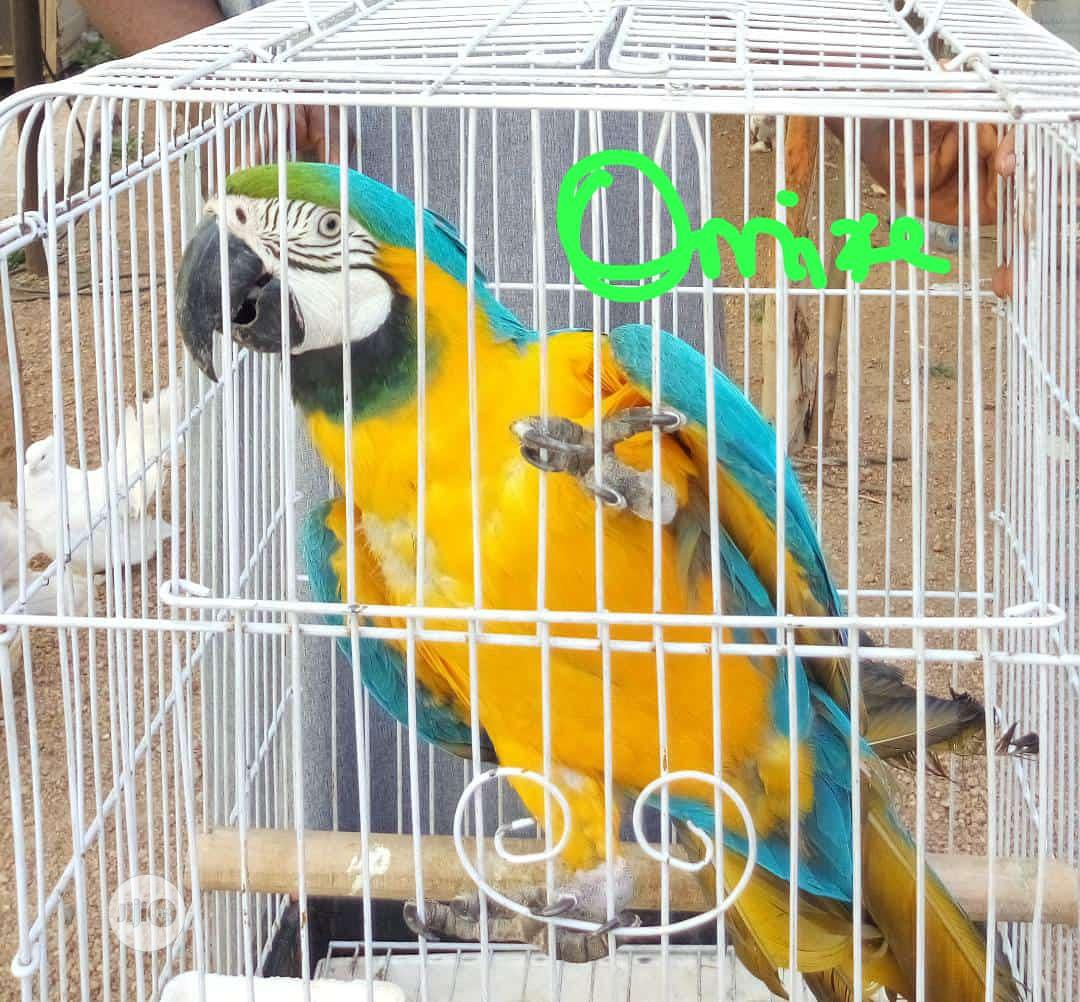 Macaw Imported Parrot ( You Will Train To Talk )