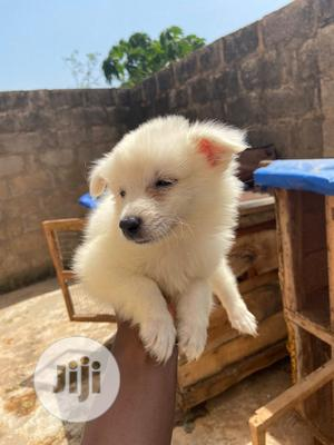1-3 month Male Purebred American Eskimo | Dogs & Puppies for sale in Kwara State, Ilorin South