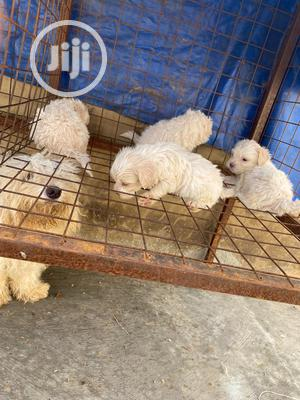 1-3 month Female Purebred Lhasa Apso | Dogs & Puppies for sale in Kwara State, Ilorin South