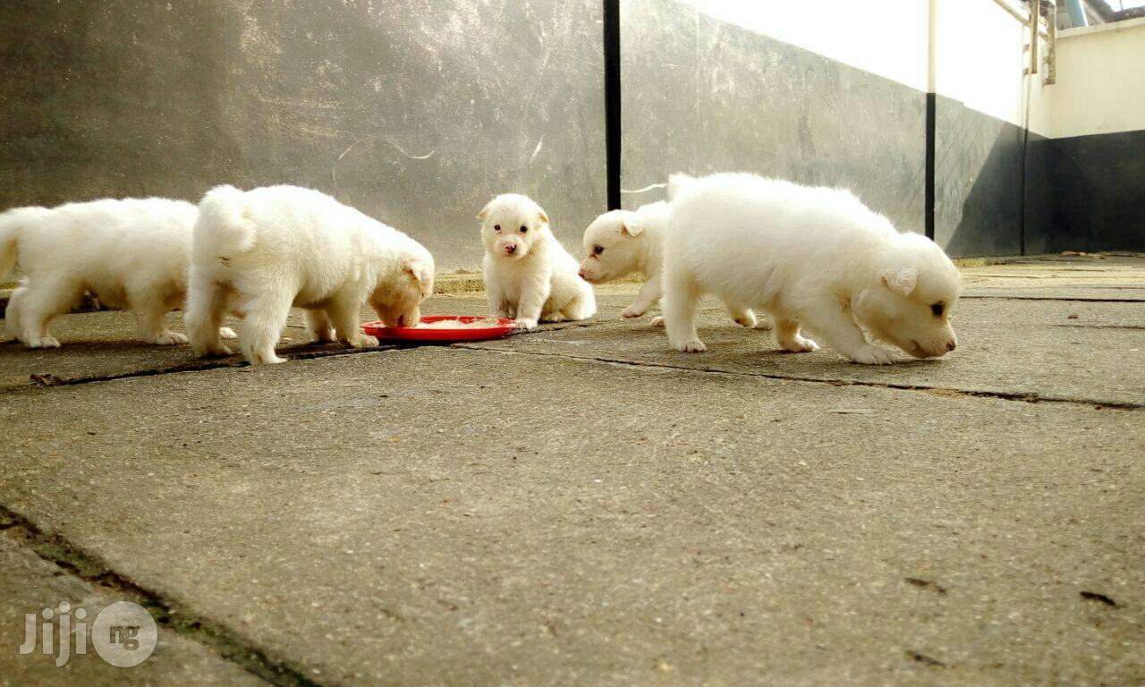 Excellent Super Cute Samoyed Puppies Puppy For Sale In Surulere Dogs Puppies All Things Pets Ng Jiji Ng