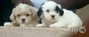 Super Cute Little Pet Dog Lhasa Apso Puppy Puppies Available Nigeria In Surulere Dogs Puppies All Things Pets Ng Jiji Ng For Sale In Surulere All Things Pets
