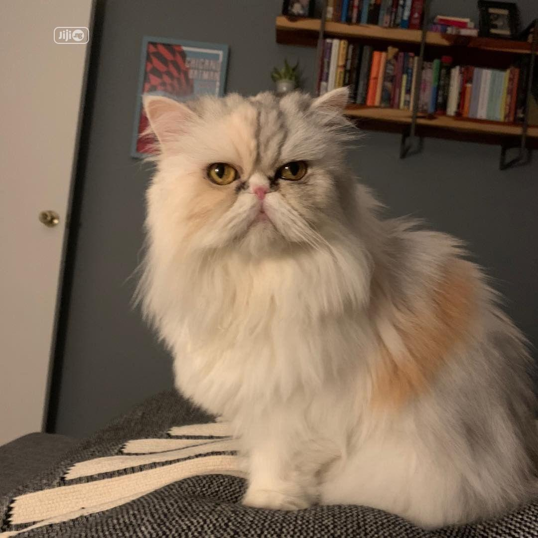 6-12 month Male Purebred Persian | Cats & Kittens for sale in Alimosho, Lagos State, Nigeria