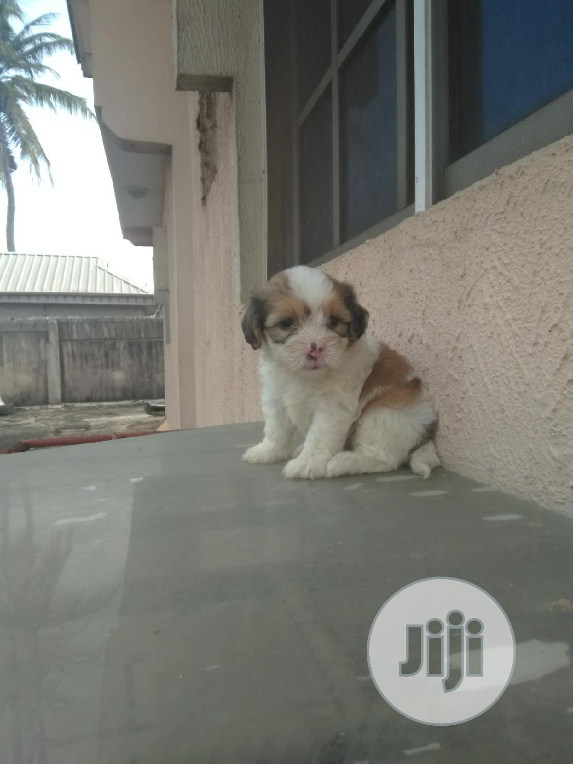 1-3 Month Male Purebred Lhasa Apso | Dogs & Puppies for sale in Ikotun/Igando, Lagos State, Nigeria