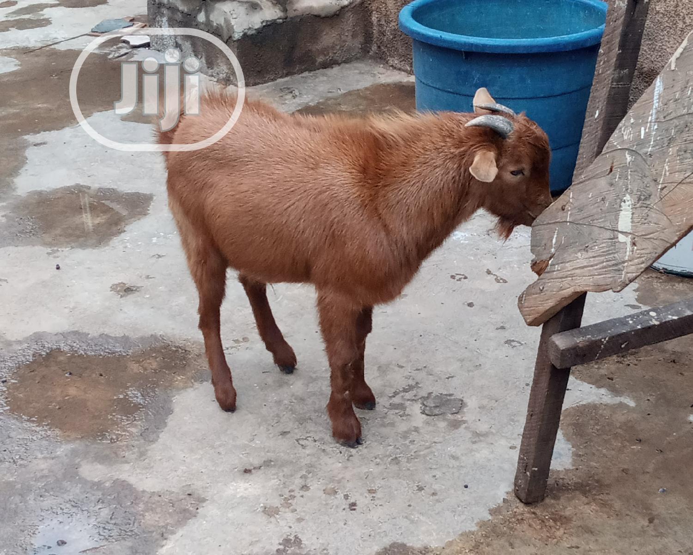 Sokoto Brown Goat