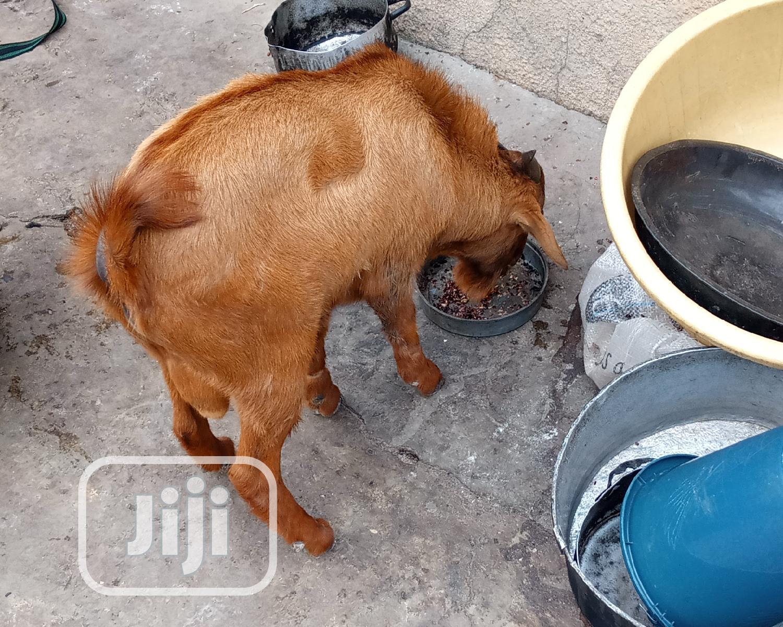 Sokoto Brown Goat | Livestock & Poultry for sale in Kaduna / Kaduna State, Kaduna State, Nigeria