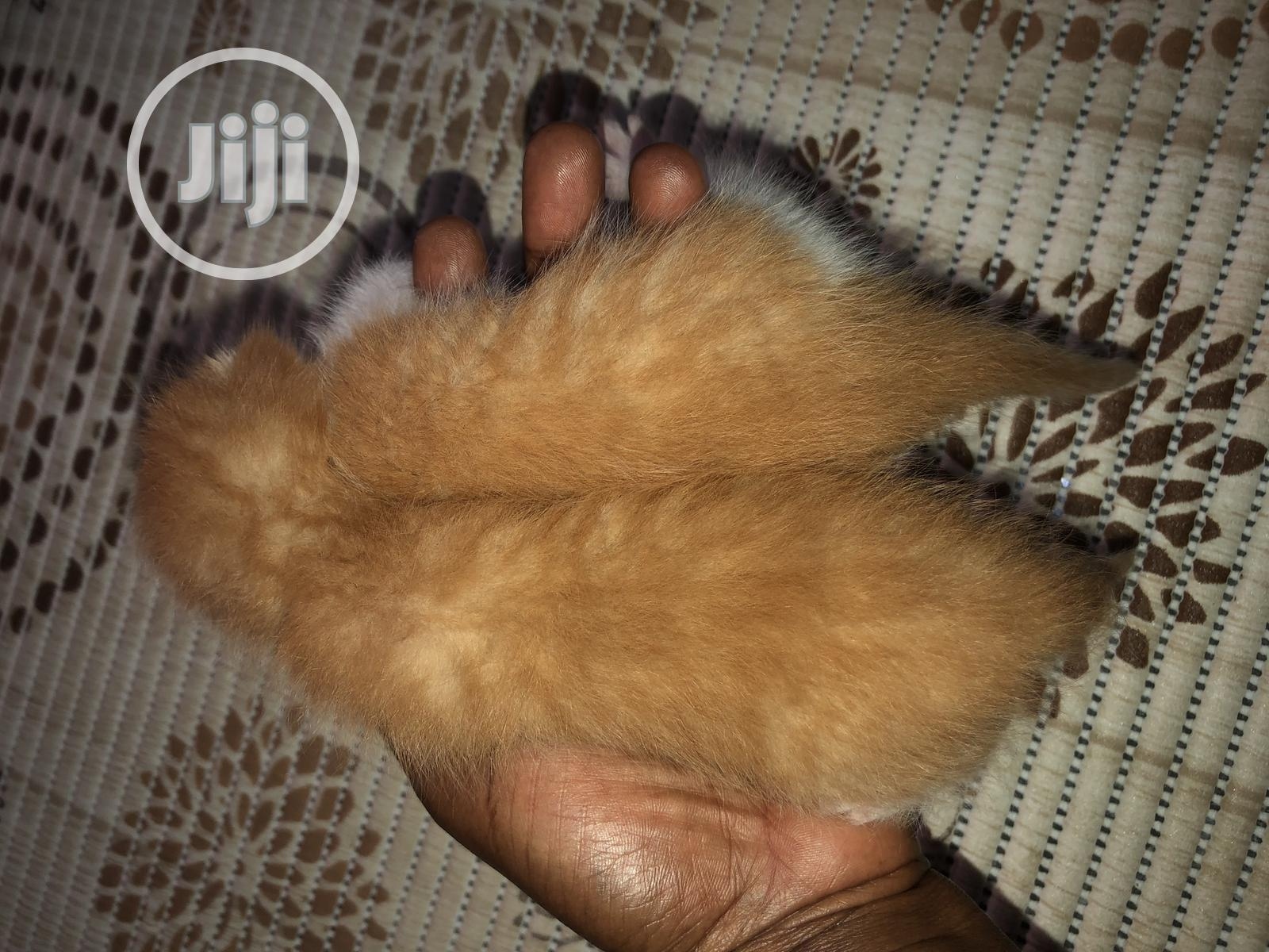 0-1 month Female Purebred Cat | Cats & Kittens for sale in Gwarinpa, Abuja (FCT) State, Nigeria