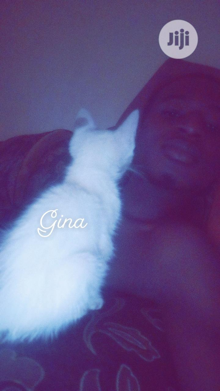 1-3 month Female Purebred Bombay | Cats & Kittens for sale in Victoria Island, Lagos State, Nigeria